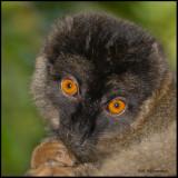 brown lemur.jpg