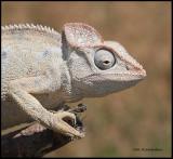 chameleon head.jpg