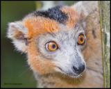 crowned lemur (male).jpg