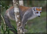 crowned lemur female.jpg
