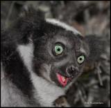 laughing Indri lemur.jpg