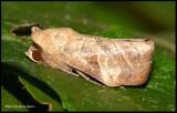 leaf moth.jpg