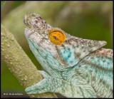 mustard eyed chameleon.jpg