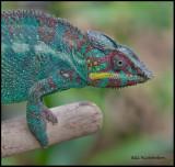 panther chameleon dark phase.jpg
