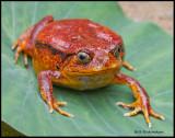tomatoe frog.jpg