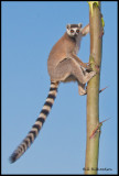 ring tailed lemur on sisal.jpg