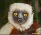 sifaka lemur.jpg