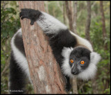 black and white ruffed lemur.jpg