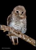white browed owl.jpg