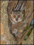 white-footed sportive lemur.jpg
