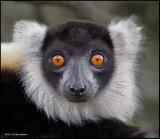 black and white ruffed lemur portrait.jpg