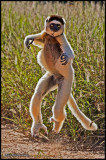 dancing sifaka.jpg