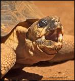 radiated tortoise.jpg