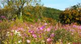 Flowering Field, North Georgia.