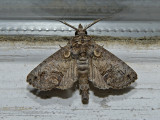 Large Paectes Moth (8962)
