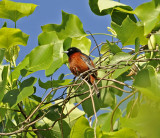 Orchard Oriole (Male)*