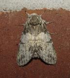 Mottled Prominent Moth (7975)