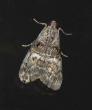 Maple Webworm Moth (5606)