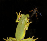 Frog and Wasp