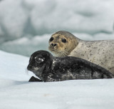 Harbor Seals of Southeast Alaska