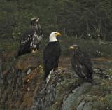 Bald Eagles - 3 Life Stages