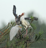 White Ibis Feeding Fledgling