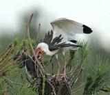 White ibis Feeding Chick