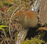 Gapper's Red-backed Vole