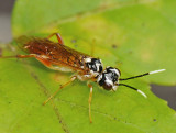 Sawflies, Horntails, & Wood Wasps