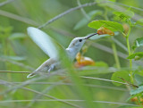 White Leucistic Ruby-throated Hummingbird