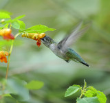 Normally Pigmented Ruby-throated Hummingbird