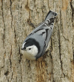 White-breasted Nuthatch (Male)