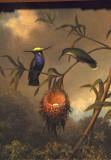 Black-breasted Plovercrest