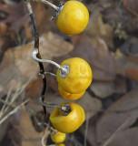 Horse Nettle Fruit