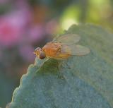 Orange Fly