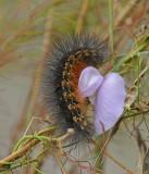 Salt Marsh Caterpillar (8131)