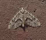 Angle-lined Carpet Moth (7638)