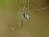 Florida Orchard Spider