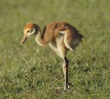 Florida Sandhill Crane Chick