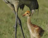 Florida Sandhill Crane and Chick