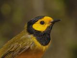 Warblers, Vireos, Kinglets, Gnatcatchers, & Shrikes