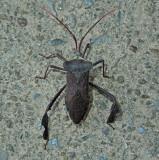 Acanthocephala femorata