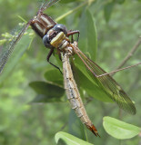 Dragonfly Devouring Crane Fly