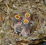 Brown-headed Nuthatch Chicks