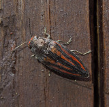 Lined Buprestris Beetle