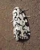 The Hebrew Moth (9285)