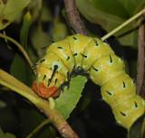 Regal Moth Caterpillar (7706)