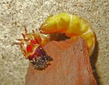 Click Beetle Larva (Wireworm)
