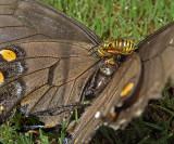 Southern Yellow Jacket Feeding on a Tiger Swallowtail