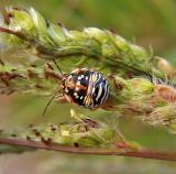 Red-shouldered Stink Bug Nymph